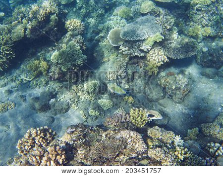 Picasso triggerfish in coral reef. Tropical seashore inhabitants underwater photo. Coral reef animal. Warm sea nature. Colorful sea fish and corals. Undersea view of marine life. Coral reef landscape
