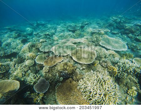 Table corals view in coral reef. Tropical seashore inhabitants underwater photo. Coral reef animal. Warm sea nature. Colorful sea fish and corals. Undersea view of marine life. Coral reef landscape