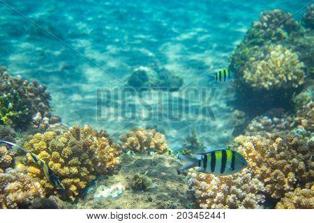 Dascillus fish in coral reef. Tropical seashore inhabitants underwater photo. Coral reef animal. Warm sea nature. Colorful sea fish and corals. Undersea view of marine life. Coral reef landscape