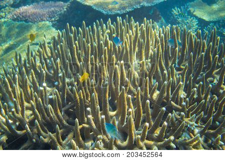 Blue and yellow fish in coral reef. Tropical seashore inhabitants underwater photo. Coral reef animal. Warm sea nature. Colorful sea fish and corals. Undersea view of marine life. Coral reef landscape