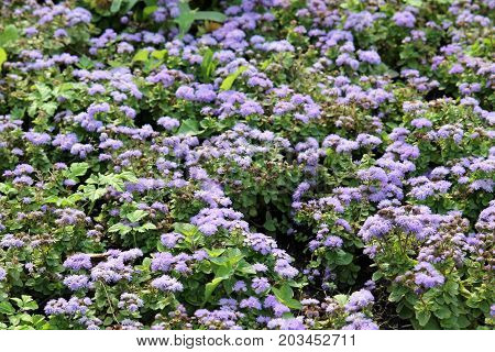 Small blue flowers of Mexican paintbrush (Ageratum houstonianum) or flossflower on flowerbed