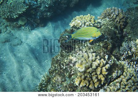 Striped surgeonfish in coral reef. Tropical seashore inhabitants underwater photo. Coral reef animal. Warm sea nature. Colorful sea fish and corals. Undersea view of marine life. Coral reef landscape