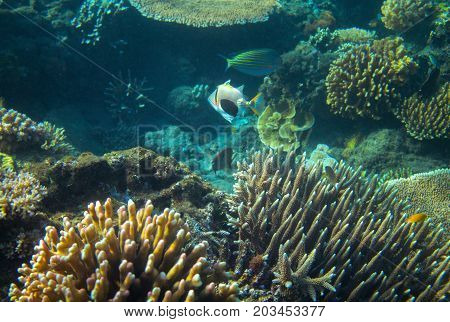 Triggerfish Picasso in coral reef. Tropical seashore inhabitants underwater photo. Coral reef animal. Warm sea nature. Colorful sea fish and corals. Undersea view of marine life. Coral reef landscape