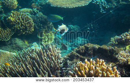Colorful Triggerfish in coral reef. Tropical seashore inhabitants underwater photo. Coral reef animal. Warm sea nature. Colorful sea fish and corals. Undersea view of marine life. Coral reef landscape