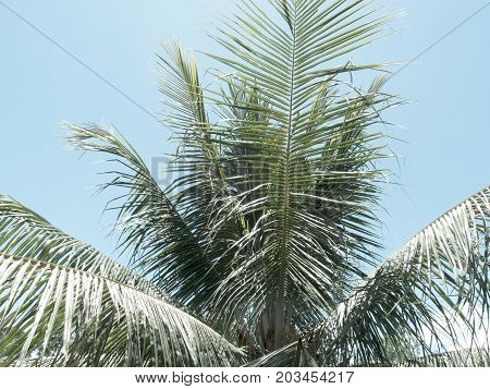 Palm tree leaves on sky background. Coco palm tree vintage toned photo. Tropical nature retro image with cinematic effect. Fluffy palm leaf on clear sky. Faded photo of exotic island. Summer travel