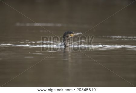 Cormorant swimming on a pond in Springtime