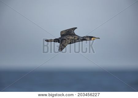 Cormorant Flying Over The Sea, Close Up