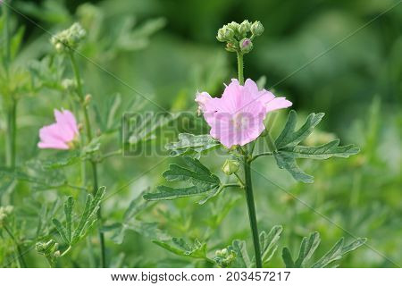 Pink flowers of hollyhock mallow (Malva alcea) flowering in garden