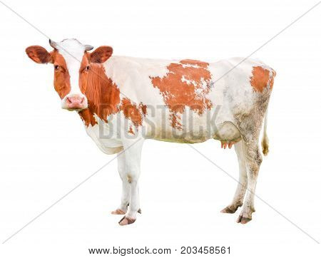 Beautiful young cow isolated on white and loking into camera. Funny red and white spotted cow full length isolated on white background.