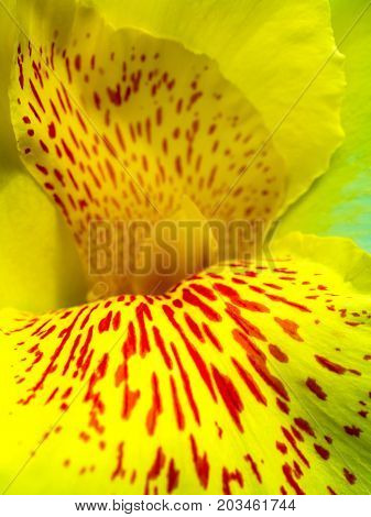 Freshness Flower Red Spots On Bright Yellow Fragile Petal Of Canna