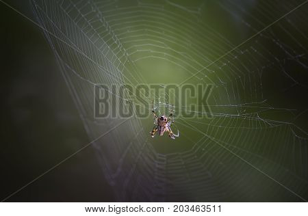 small spider (Metellina segmentata) in a big net in the forest backlit