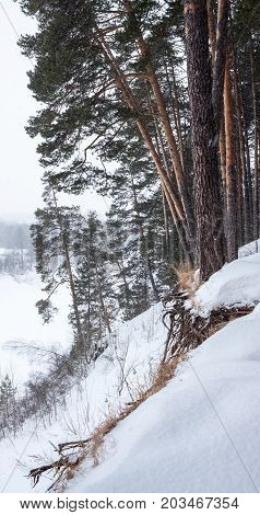 Pines on the river bank during a snowfall