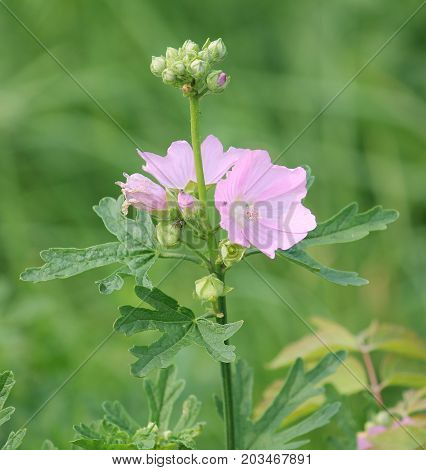 Pink flower of musk mallow (Malva moschata) on green background