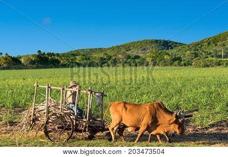 Cienfuegos Cuba - June 30 2017: Cuban field farmer on the sugarcane field on his ox wagon in Cienfuegos Cuba - Serie Cuba Reportage