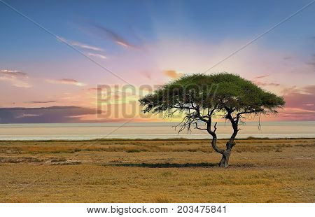 Sunset over the Etosha Pan with a solitary Acacia Tee