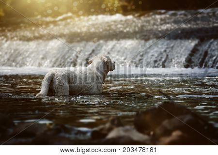 Labrador retriever dog standing in a stream
