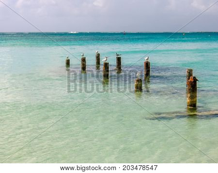 Group of seagulls on wooden trunks on tropical sea. Guadeloupe, Antilles, Caribbean. Copy space.