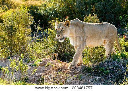Lioness Walking Slowly Stalking Her Prey In The Field