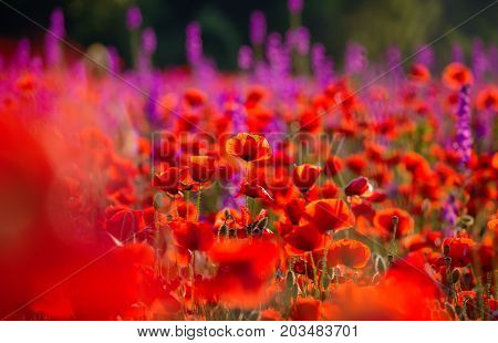 Meadow with beautiful bright red poppy flowers