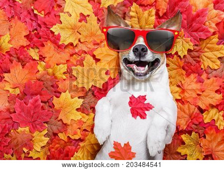 jack russell dog lying on the ground full of fall autumn leaves sleeping and lying on the back torso wearing funny sunglasses