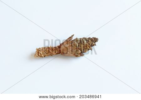 Pine cone partially eaten by squirrels, isolated on white