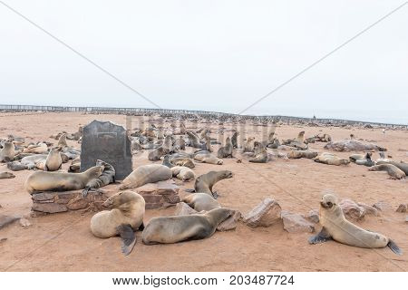 CAPE CROSS NAMIBIA - JUNE 29 2017: Cape Fur Seals Arctocephalus pusillus on a monument at the seal colony at Cape Cross on the Skeleton Coast of Namibia