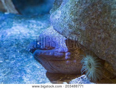 Moray close up view in aquarium photo