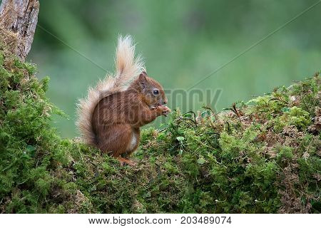 A red squirrel sits on a tree trunk covered in lichen eating a nut showing its bushy tail