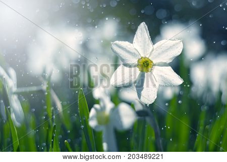 White narcissus in the sunlight and bokeh. Soft selective focus