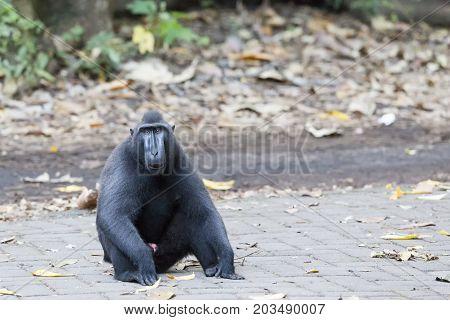 Sitting Black Macaque At Tangkoko National Park