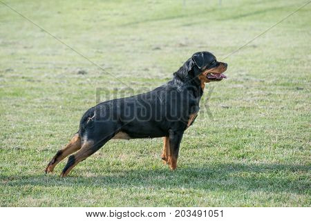 Purebred Rottweiler dog outdoors in the nature on grass meadow on a summer day. Selective focus on dog