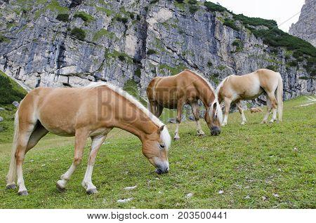 Wild Chestnut Horses, Dolomites, Italy,