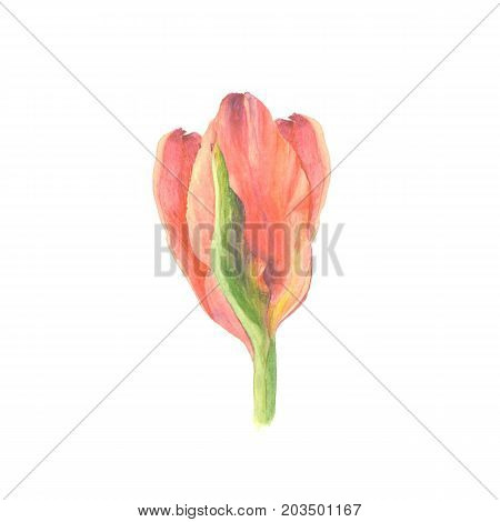 Botanical watercolor illustration sketch of red tulip flower on white background.