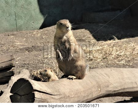 A lone Prairie Dog on sentinel duty  watching for danger.  In a prairie dog town certain will watch for danger and signal the other prairie dogs.