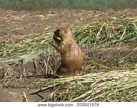 A lone Prairie Dog enjoying a worn sunny day while munching on some grass.