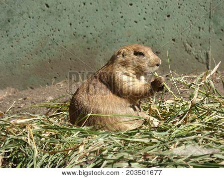 A lone Prairie Dog eating some grass.
