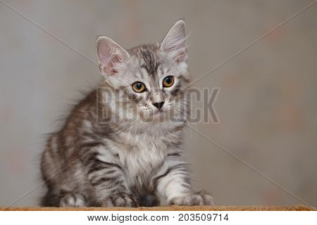 Cute little kitty Bobtail. Pets. Hypoallergenic breed of cats.