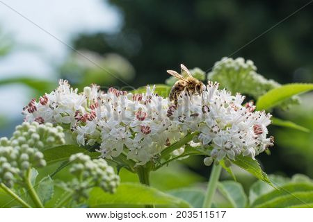 Honey Bee Collecting Nectar On White Flower.
