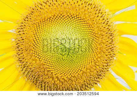 Sunflowers texture. Sunflowers field background. Macro view of sunflower in bloom.