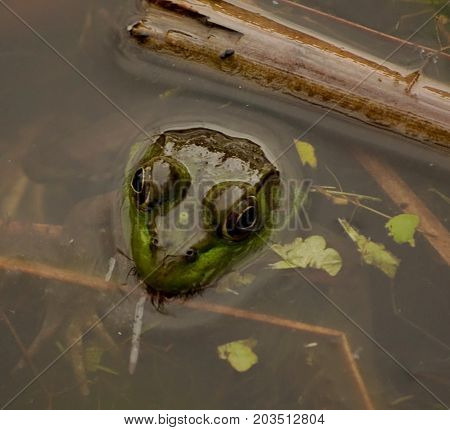 A bullfrog sticking his head out of the water of a pond