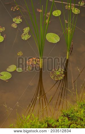 A pond's edge with lily pads and reeds with the reflection of the reeds upon the surface of the water
