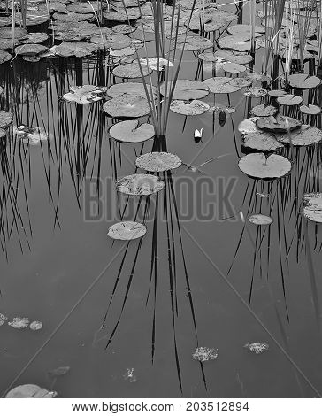 Black and white pond with lily pads and reeds with their reflection on the surface