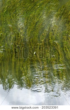 Green algae under water in the river. Top view.