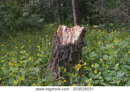 stump remaining from oak that was broken by the wind in the woods