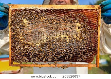 closeup honeycomb full of bees and honey. Beekeeper in protective workwear inspecting honeycomb frame at apiary. Beekeeper harvesting honey