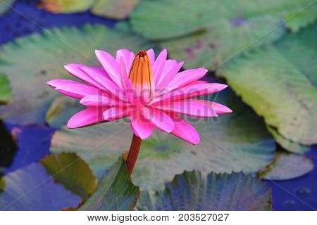 Beautiful pink waterlily flower and leaves blooming in the pond