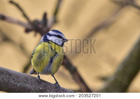 blue tit waiting for its sunflower seeds