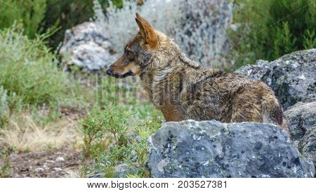 Whole wet Canis Lupus Signatus profile over rocks looking at the horizon, side view
