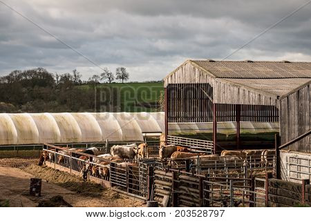Cows In A Stable, Uk English Farm