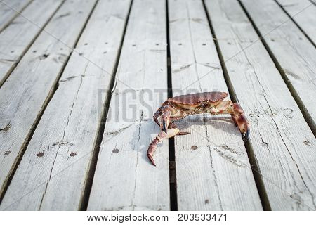 alive crab standing on wooden floor and holding claw of another crab. outdoor shot in norway. copy space.